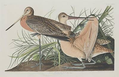 Seagull Drawing - Great Marbled Godwit by Dreyer Wildlife Print Collections