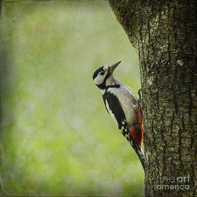Photograph - Great Spotted Woodpecker by Liz Leyden