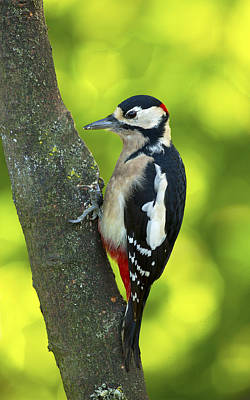 Photograph - Great Spotted Woodpecker by Paul Scoullar