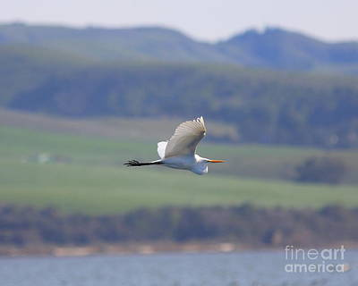 Bif Photograph - Great White Egret In Flight by Wingsdomain Art and Photography