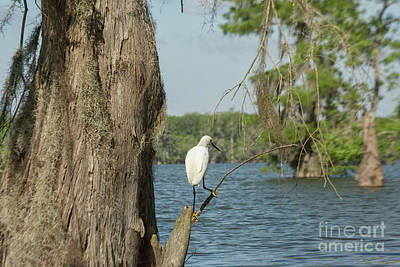 Photograph - Great White Egret by Patricia Hofmeester