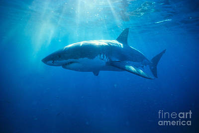 Silver Turquoise Photograph - Great White Shark by Dave Fleetham - Printscapes