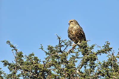 Photograph - Greater Kestrel On Watch by Kay Brewer