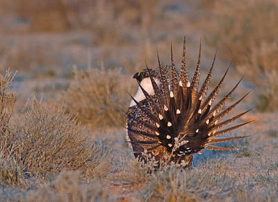 Brown Photograph - Greater Sage Grouse by Gary Wing