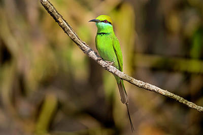 Photograph - Green Bee-eater by Pravine Chester