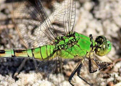 Dragonfly Macro Photograph - Green Dragonfly Closeup by Carol Groenen