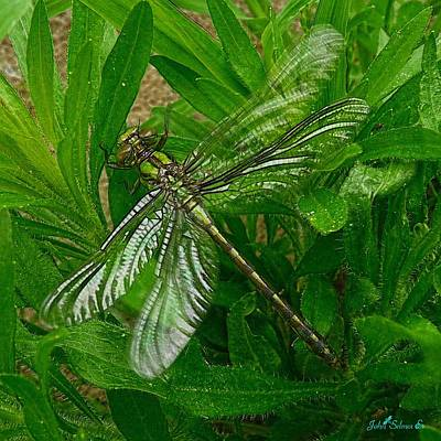 Photograph - Green Dragonfly by John Selmer Sr