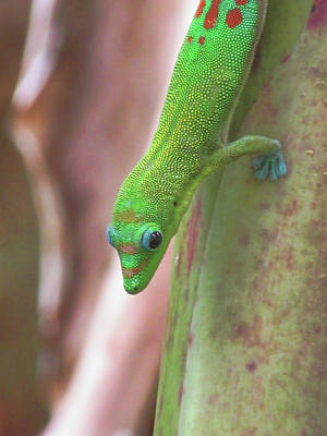 Photograph - Green Gecko by Pamela Walton