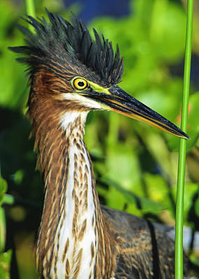 Photograph - Green Heron  by Bill Dodsworth