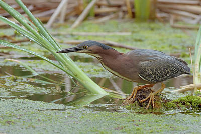 Green Heron Art Print by Doug Herr