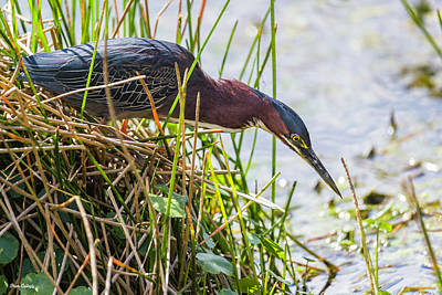 Photograph - Green Heron Hunting by Fran Gallogly