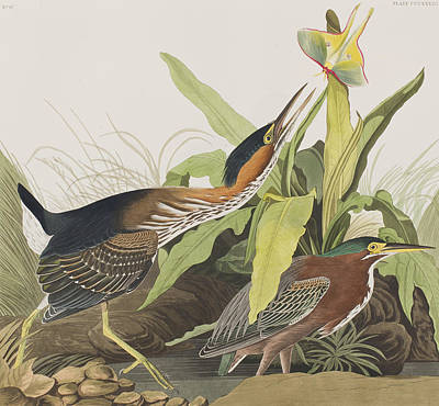 Heron Drawing - Green Heron by John James Audubon