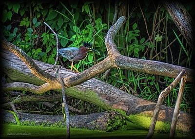 Photograph - Green Heron by LeeAnn McLaneGoetz McLaneGoetzStudioLLCcom