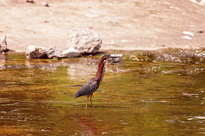 Photograph - Green Heron by Peter Lakomy