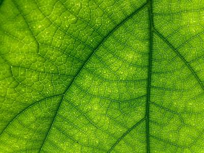 Photograph - Green Leaf Macro by Tilen Hrovatic