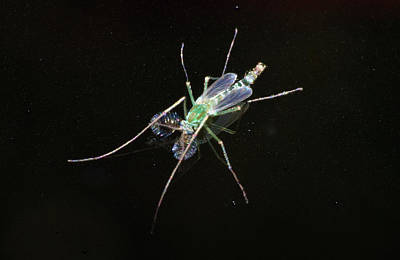 Photograph - Green Midge by Larah McElroy