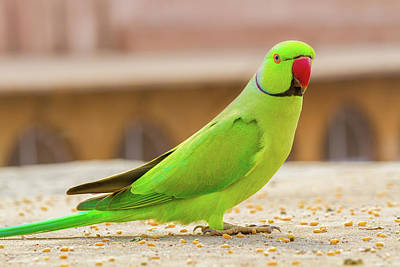 Photograph - Green Parrot In India by Nila Newsom