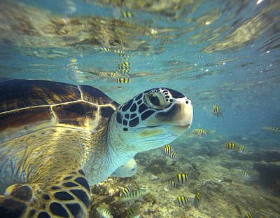 Underwater View Photograph - Green Sea Turtle Balicasag Island by Tim Fitzharris