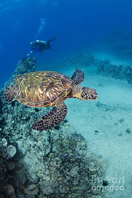 Green Sea Turtle Photograph - Green Sea Turtles  by Dave Fleetham - Printscapes
