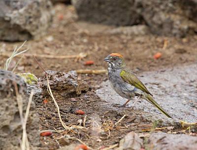 Photograph - Green-tailed Towhee by Doug Lloyd