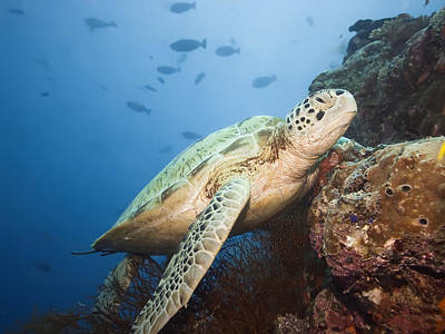 Photograph - Green Turtle Underwater  by MotHaiBaPhoto Prints