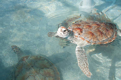 Digital Art - Green Turtles by Carol Ailles