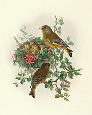 Greenfinch Art Print by John Gould