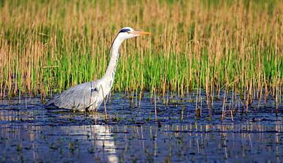 Grey Heron, Ardea Cinerea, In A Pond Art Print