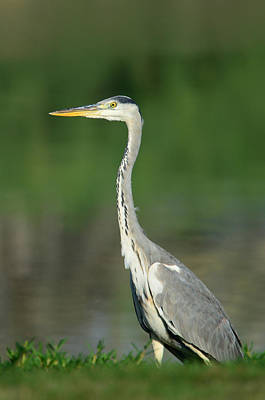 Photograph - Grey Heron by Balram Panikkaserry