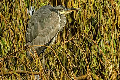 Photograph - Grey Heron by Cliff Norton