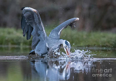 Photograph - Grey Heron Trout Fishing by Keith Thorburn LRPS