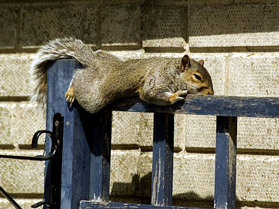 Grey Squirrel Art Print by Mike Lester