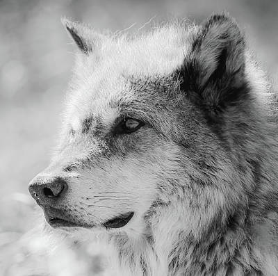 Photograph - Grey Wolf  by Athena Mckinzie
