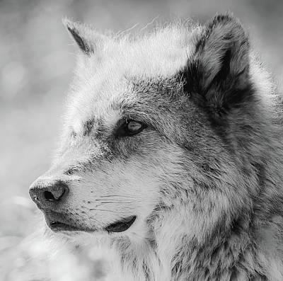 Photograph - Grey Wolf  by Athena Mckinzie