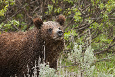 Photograph - Grizzly Cub by Steve Stuller