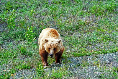 Photograph - Grizzly by David Arment