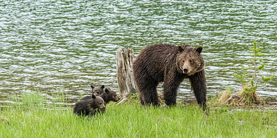 Photograph - Grizzly Mom And Cubs by Yeates Photography