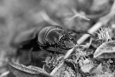 Photograph - Ground Beetle by Marek Stepan