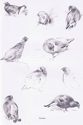 Wild Life Drawing - Grouse by Archibald Thorburn