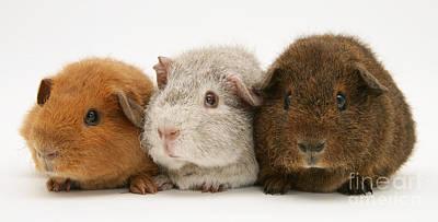 Cavy Photograph - Guinea Pigs by Jane Burton