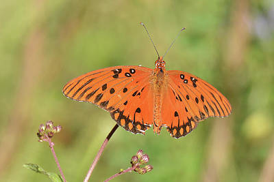 Photograph - Gulf Fritillary by Alan Lenk