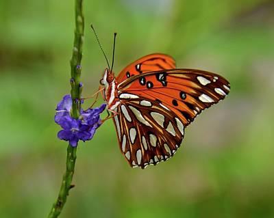 Photograph - Gulf Fritillary Butterfly by Carol Bradley