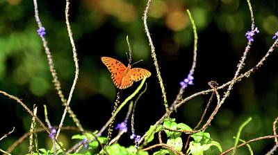 Photograph - Gulf Fritillary On Blue Porterweed by Carol Bradley