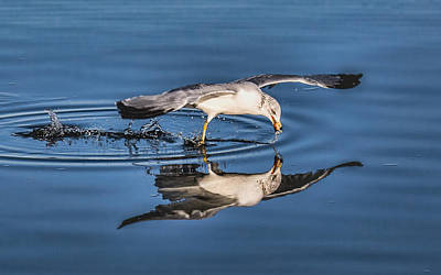 Photograph - Gull Reflection by Susi Stroud