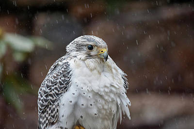 Photograph - Gyrfalcon A Bird Of Prey Sitting In The Rain by Dan Friend