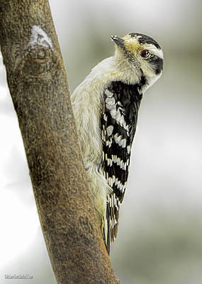 Woodpecker Photograph - Hairy Woodpecker by LeeAnn McLaneGoetz McLaneGoetzStudioLLCcom