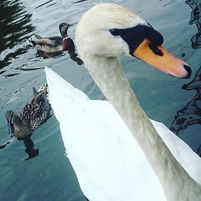 Hakucho Means Swan  Art Print