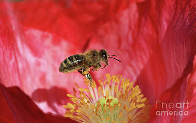 Honeybee Photograph - Hard At Work by Gary Wing