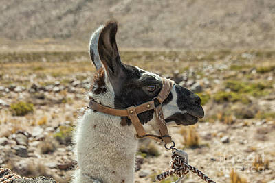 Photograph - Harnessed Llama by Patricia Hofmeester