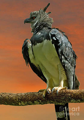 Harpy Eagle Photograph - Harpy Eagle by Larry Linton